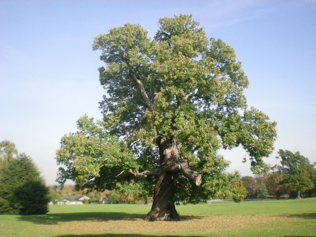 Sweet chestnut is a decent choice for firewood