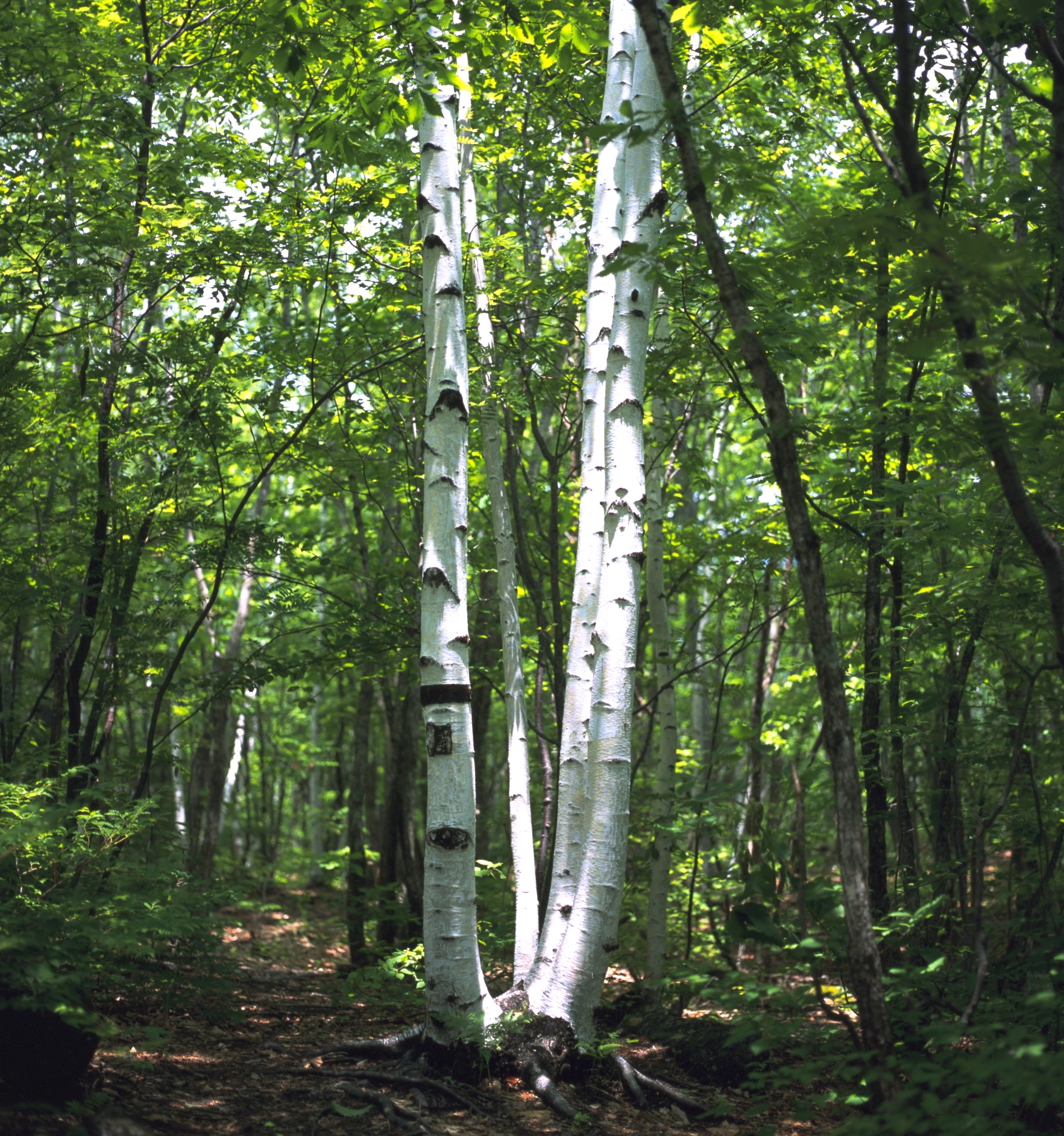 Birch is a great alternative for firewood