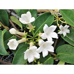 MADAGASCAR JASMINE Vine Stephanotis 1Gal Plant Floribunda Fragrant Houseplant 10-12 Inch Tall