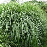 Miscanthus Morning Light Grass - 5 Container