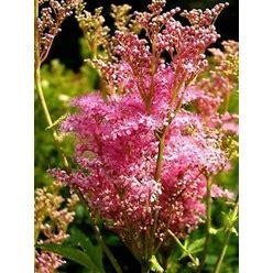 Queen Of The Prairie Filipendula Rubra Hardy Perennial Pink Red 10