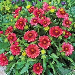 Red Gaillardia