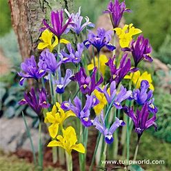 Early Royal Dwarf Dutch Iris Mix