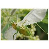Aphid In Flight - Rectangle Magnet