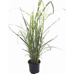 Premier Plant Solutions 15647 Zebinus Zebra Grass (Miscanthus Sinesis), 19Cm