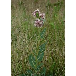 50 Prairie Milkweed Seeds. Asclepias Sullivantii.
