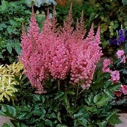 Visions In Pink Astilbe - 1 Container
