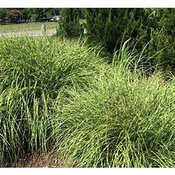 Little Zebra Grass Perennial - Miscanthus Sinensis 'Little Zebra' -...