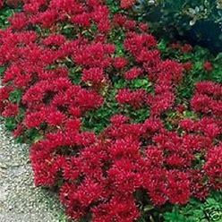 50+ Cherry Red Summer Glory Sedum / Perennial Flower Seeds / DEER RESISTANT