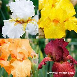 Warm Bearded Iris Collection
