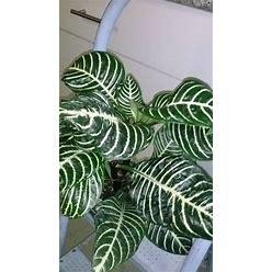 "Zebra Plant (Aphelandra Squarrosa ) - 4"" Tal - Ship In 3"" Pot"