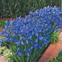 Discovery Dutch Iris Bulbs - 250 Per Package | Blue | Iris Hollandica 'Discovery' | Zone 5-9 | Spring Planting | Sun Perennials