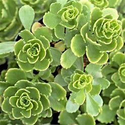 Sedum Hybridum 'Immergrünchen'   Mountain Crest Gardens