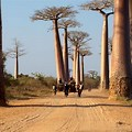 Avenue of Baobabs Madagascar People