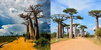 Avenue of Baobabs the Tourist Information