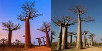 Avenue of the Baobabs Facts