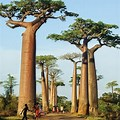 Avenue of the Baobabs Madagascar Fruit
