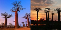 Avenue of the Baobabs Madagascar at Sun Set