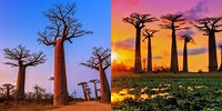 Baobabs Avenue of the Windows