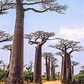 Closee Up Oof a Avenue of Baobabs