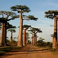 The Flowers Avenue of Baobabs