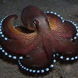 sea octopus